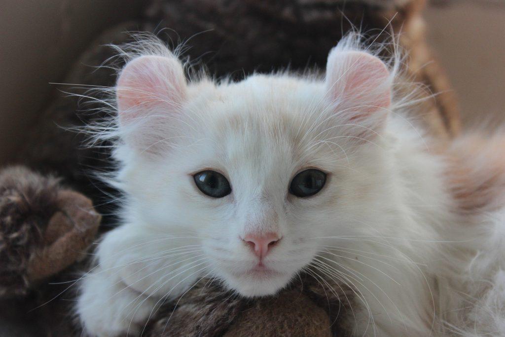 american-curl-cat