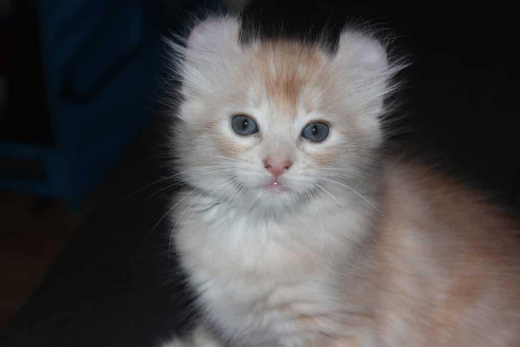 american-curl-cat-breed